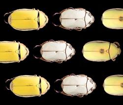 Giant-Jewel-Beetle